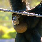 Hey I'm The Pro at Brachiating! - Siamang - Orana Wildlife Park CHC NZ by AndreaEL