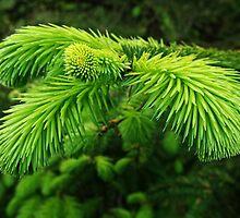 Pine by Leon Heyns