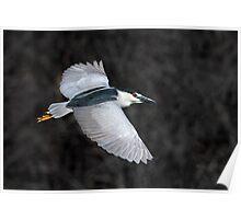 Black Crowned Night Heron In Flight Poster
