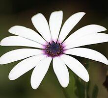 White flower 2796 by João Castro