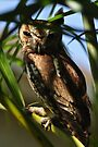 Eastern Screech Owl, As Is by Kim McClain Gregal