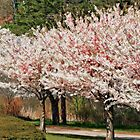 High Park Cherry Blossoms by KatMagic Photography