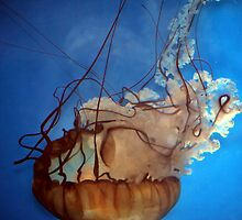 Drifting Through, The West Coast Sea Nettle by April May Maple