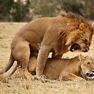 Domestic Violence. Lions Copulating, Maasai Mara, Kenya  by Carole-Anne