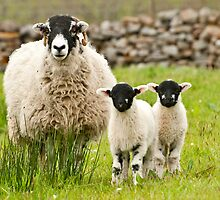 Sheep with lambs by Stephen Knowles