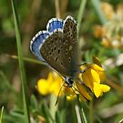 Male Common Blue by marens