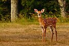 Alert Whitetail Fawn by Joe Elliott