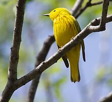 Yellow Warbler by withacanon