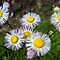 Delightful Daisies by Debbie Meyers