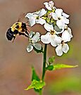 Bumble Bee on a Hydrangea by Debbie Pinard