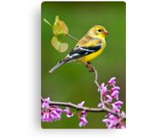 American Goldfinch in Spring Season Canvas Print
