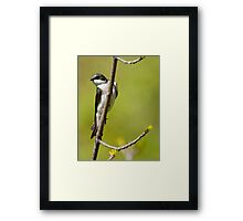 Young Tree Swallow Framed Print