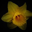 Yellow Daffodil by Jonice