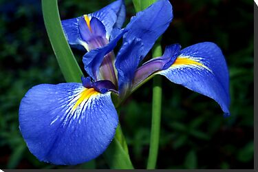 Blue flag beauty by ♥⊱ B. Randi Bailey