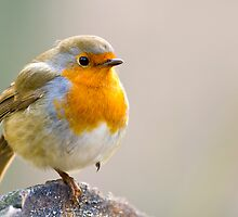 A Robin Perched on a Log by Platslee