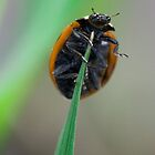 Adalia Bipunctata Lady bird/bug by theriverrat