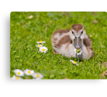 Gosling with Daisy Canvas Print