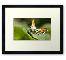 Male orange tip butterfly Framed Print