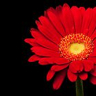 Red Gerbera Daisy by Platslee