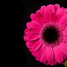 Pink Gerbera by Platslee