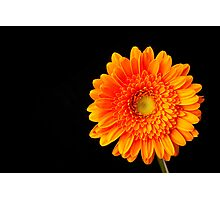 Orange Gerbera Photographic Print