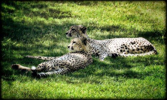 Cheetahs  by Saija  Lehtonen