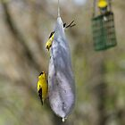 American Gold Finch by Richard Williams