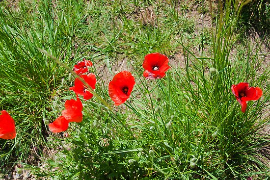 Poppies on the Dorset Coast  by Elaine123