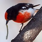 Red-capped Robin ~ &quot;The Long Lunch&quot; by Robert Elliott