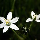 Star of David Wildflowers by Dave & Trena Puckett