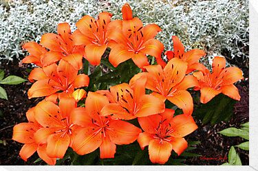 Orange Lilies in My Garden by SummerJade