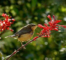 Eastern Spine-bill chick feeding by pcbermagui