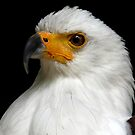 African Fish Eagle Portrait by Mark Hughes