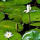 Lilypad Flowers 2.0 by Patrick Robertson