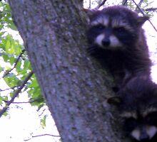 Baby Racoons in the Tree by debbiedoda