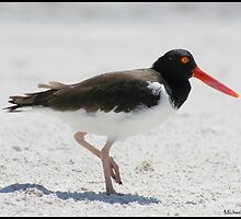 American oyster catcher by Domesticfix