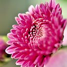 Purple Chrysanthemum by srijanrc