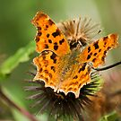 Comma Butterfly by Ray Clarke