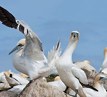 Who's a lucky boy! Gannets, Saltee Island, County Wexford, Ireland by Andrew Jones