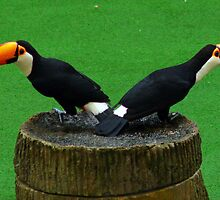 Two Toucans by Steve Bass
