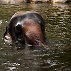 Elephant at Singapore Zoo by Steve Bass