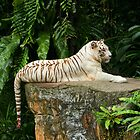 White Tiger at Singapore Zoo by Steve Bass