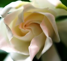 Gardenia with a touch of Pink by Freda Sbordoni