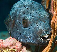Blackspotted pufferfish portrait by Valerija S.  Vlasov