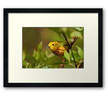 Yellow Warbler II Framed Print