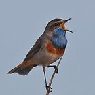 Bluethroat  by Willem Hoekstra