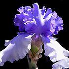 Iris by Loree McComb
