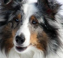 Sheltie Closeup by jodi payne
