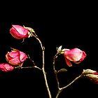 Tulip Tree by mogue