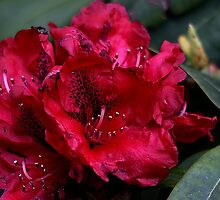 Rhododendrons Bloom by Pagani